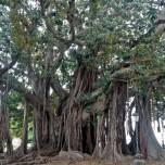 Palermo - Ficus