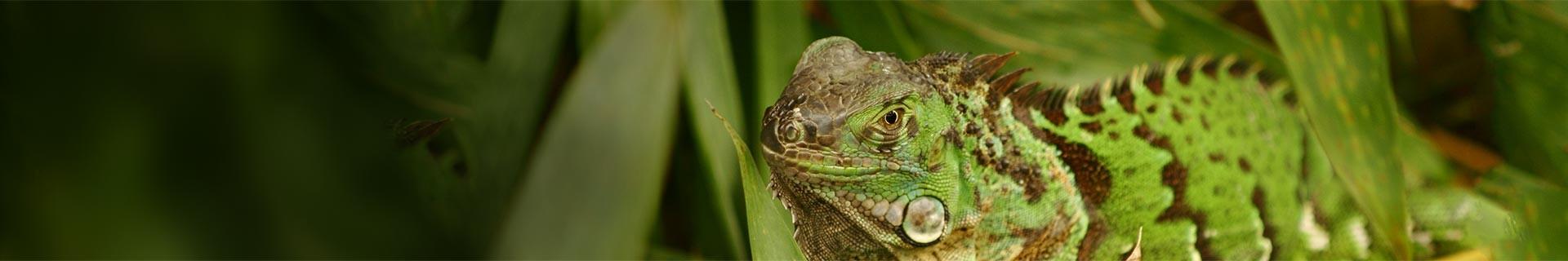 Foto Iguana Costa Rica